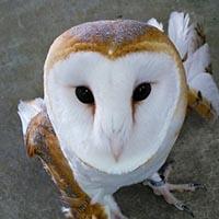 事務所で遊ぶフクロウ三羽!かわいい~ 【シロフクロウ、メンフクロウ、アフリカオオコノハズク】