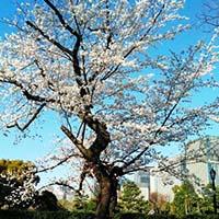 桜が美しいです